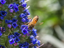 Honey bee on flowers. Close up honey bee on flowers Royalty Free Stock Photo