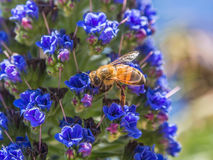 Honey bee on flowers. Close up honey bee on flowers Stock Images