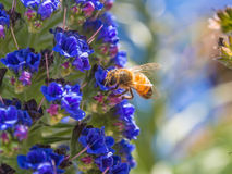 Honey bee on flowers. Close up honey bee on flowers Royalty Free Stock Photos