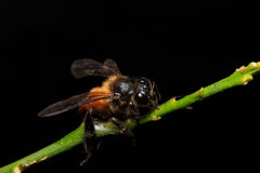 Honey Bee on flowers or leaf royalty free stock photo