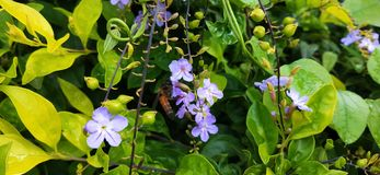Honey bee at flowers stock photography
