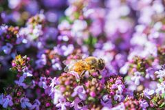 Honey Bee Between Flowers Royalty Free Stock Images