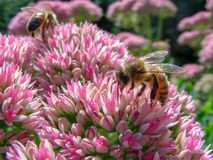 Honey Bee Fly Mimic e flor fotografia de stock royalty free