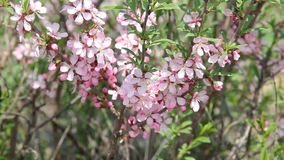 A honey bee fly among the pink blossoms of a barberry in an orchard, pollinating the flowers as it seeks for honey. Beautiful pink bush of barberry in a spring stock video