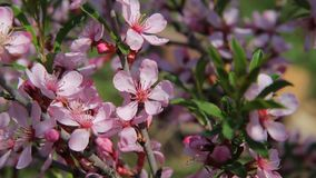A honey bee fly among the pink blossoms of a barberry in an orchard, pollinating the flowers as it seeks for honey. Beautiful pink blossoms in a spring garden stock footage