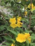 Honey Bee flyger in i den gula trumpetbushblomman Arkivfoto