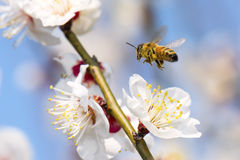 Honey Bee Flying Foto de archivo libre de regalías