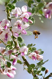 Honey Bee Flying Royaltyfri Foto