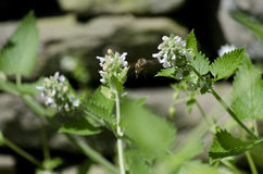 Honey Bee Flying Among Catnip blommor Royaltyfri Bild