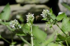 Honey Bee Flying Among Catnip-Blumen Lizenzfreies Stockbild