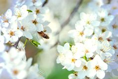 Honey bee flying on Cherry Blossom in spring stock image