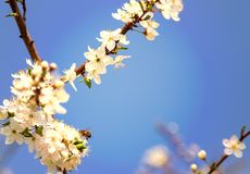 Honey bee flying on cherry blossom in spring with soft focus, sa. Kura season - spring abstract scenes royalty free stock photography