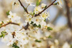 Honey bee flying on Cherry Blossom in spring with Soft focus, Sa. Kura season- Spring abstract scenes royalty free stock photo