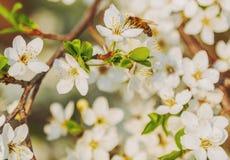 Honey bee flying on Cherry Blossom in spring with Soft focus, Sa. Kura season stock photo