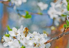 Honey bee on Cherry Blossom in spring with Soft focus, Sakura se. Honey bee flying on Cherry Blossom in spring with Soft focus, Sakura season- Spring abstract stock photography