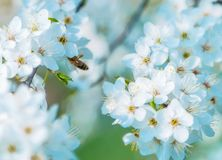 Honey bee on Cherry Blossom in spring with Soft focus, Sakura se. Honey bee flying on Cherry Blossom in spring with Soft focus, Sakura season- Spring abstract royalty free stock images