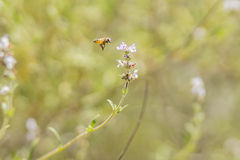 Honey bee flying into flower Stock Image