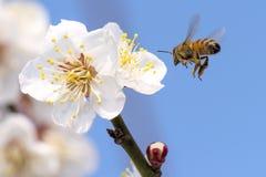 Honey bee flying Royalty Free Stock Photography