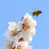 Honey bee flying Royalty Free Stock Photos