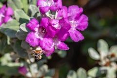 Honey Bee Flying Near Sage Bloom porpora fotografia stock