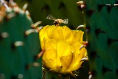 Honey Bee Flying Near un cactus floreciente del higo chumbo Imagenes de archivo