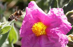 Honey bee flying to collect pollen near flower. A honey bee fly on his way to collect pollen from a flower on a forest in the Spanish balearic island of Mallorca stock image