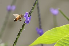 Honey Bee flying to flower Stock Image