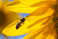 Honey bee flying, yellow flower petals background. Macro view sunflower and insect searching nectar. Sunny summer day Royalty Free Stock Photos