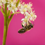 Honey bee foraging Royalty Free Stock Photos