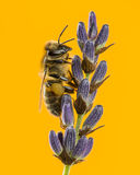 Honey bee foraging on a lavander in front of an orange backgroun Stock Image
