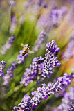 Honey bee foraging on lavender. Honey bee foraging for pollen and nectar on purple lavender flowers with shallow dof Stock Photography