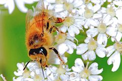 Honey Bee Foraging For Nectar On Hogweed In a Meadow. Honey Bee Foraging For Nectar On Hogweed In a wild flower meadow. The European Honey Bee - Apis mellifera stock images
