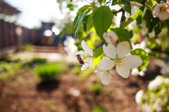 Honey bee in garden collect nectar from flowers of blooming tree. Honey bee in the garden collects nectar from flowers of blooming trees stock image