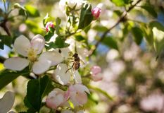 Honey bee in garden collect nectar from flowers of blooming tree. Honey bee in the garden collects nectar from flowers of blooming trees royalty free stock photo