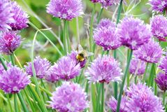 Honey bee and garlic. Honey bee on garlic flowers Stock Photos