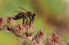 Honey bee gather pollen Stock Photo