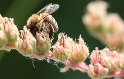 Honey bee gather pollen- close up. Honey bee on the flowering plant gather pollen stock photo