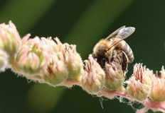 Honey bee gather pollen- close up Stock Photo