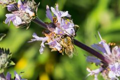 Honey bee gathering nectar from Cleveland sage Salvia clevelandii flowers in spring, California royalty free stock image