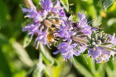 Honey bee gathering nectar from Cleveland sage Salvia clevelandii flowers in spring, California stock image