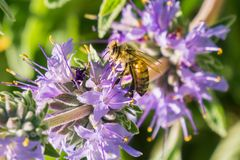 Honey bee gathering nectar from Cleveland sage Salvia clevelandii flowers in spring, California royalty free stock photo