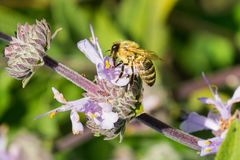 Honey bee gathering nectar from Cleveland sage Salvia clevelandii flowers in spring, California stock photos
