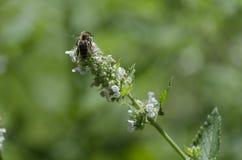 Honey Bee Gathering Nectar från en Catnipblomma Arkivbilder