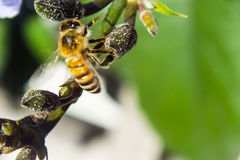 Honey Bee Gathering Nectar occupé Image stock