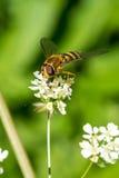 Honey Bee Gathering Nectar von den kleinen weißen Blumen Stockbild