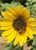 Honey bee gathering pollen stock photos