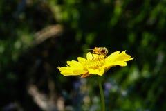 Honey bee gathering pollen inside bloomed yellow flower in garde Royalty Free Stock Photos