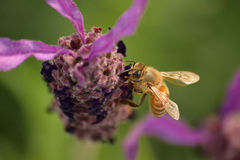 Honey Bee gathering pollen from Lavender flower Royalty Free Stock Photography