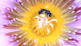 Honey Bee gathering pollen on lotus flower Royalty Free Stock Photo