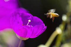 Honey bee. Gathering pollen of the pink flowers of Portulaca (Purslane, Moss Rose Royalty Free Stock Image